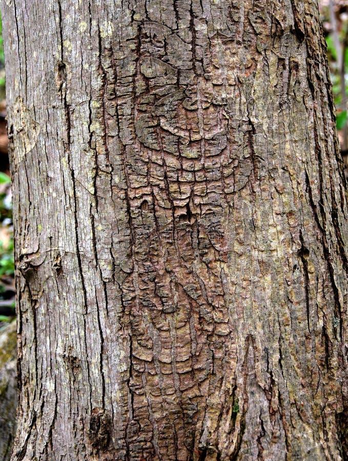 四季不断的目标溃疡的特别样式在一个红槭树干的 库存照片