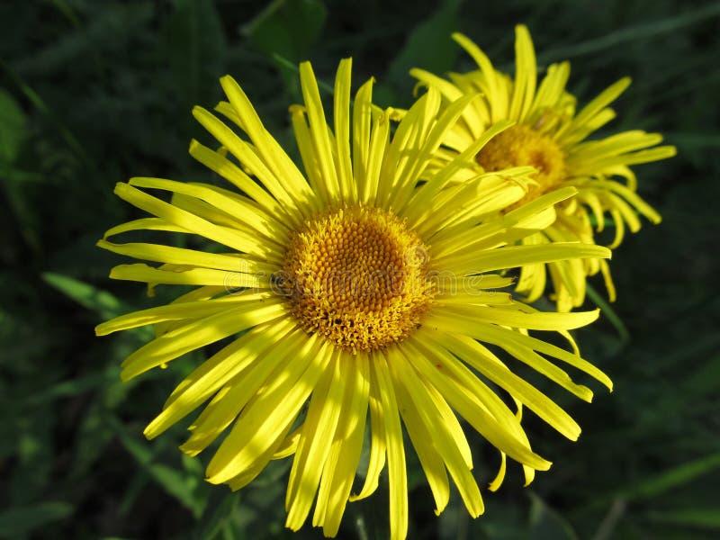 四季不断的翠菊的两朵黄色花在庭院里 免版税库存照片