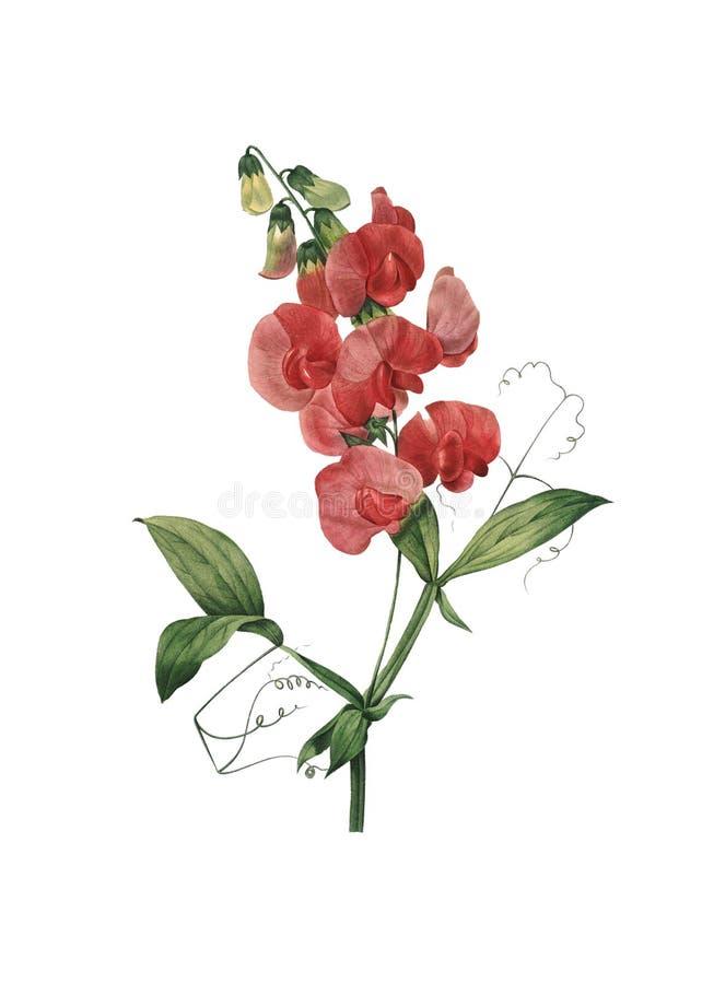 四季不断的香豌豆花 Redoute花例证 库存图片