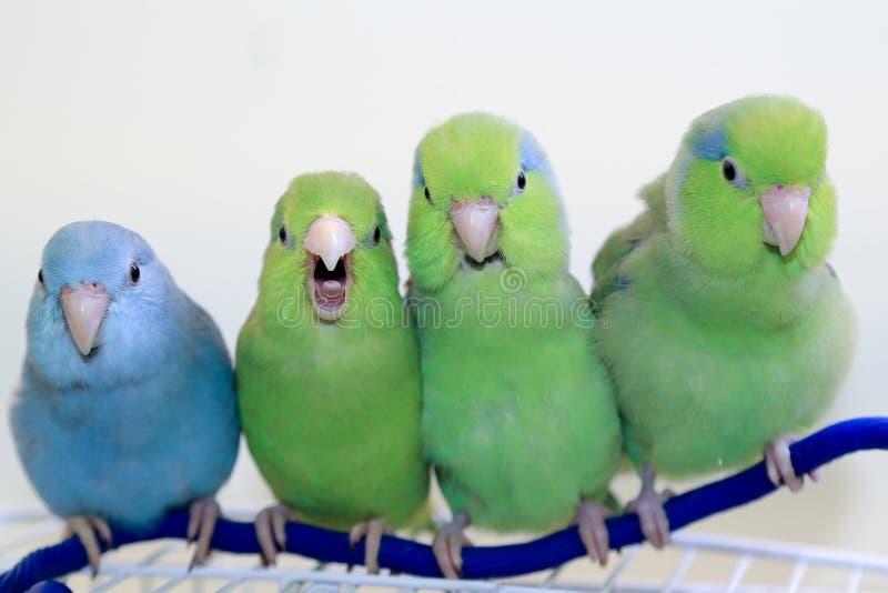 四朋友parrotlets 免版税库存图片
