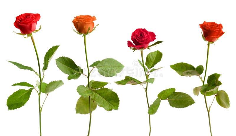 四朵查出的玫瑰 图库摄影