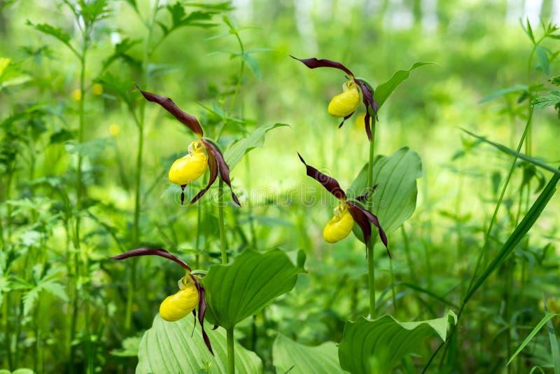 四朵罕见的specieswild兰花Ladyes拖鞋真正的杓兰calceolus在森林里 库存照片