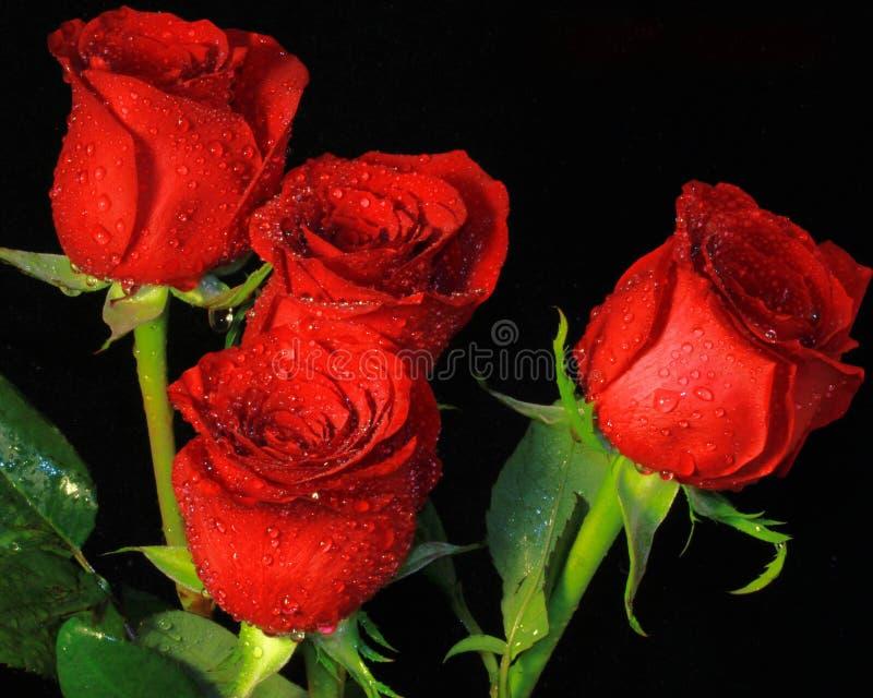 四朵美丽的玫瑰 库存图片
