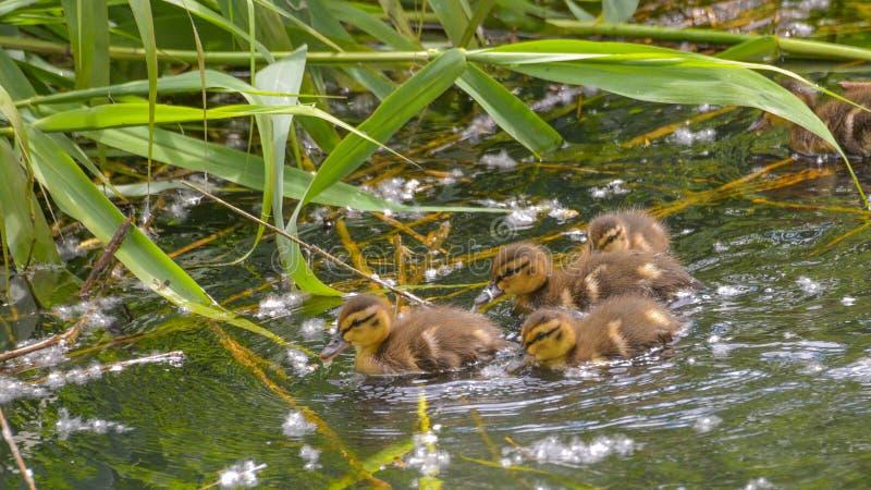 四游泳的幼小野鸭 库存照片