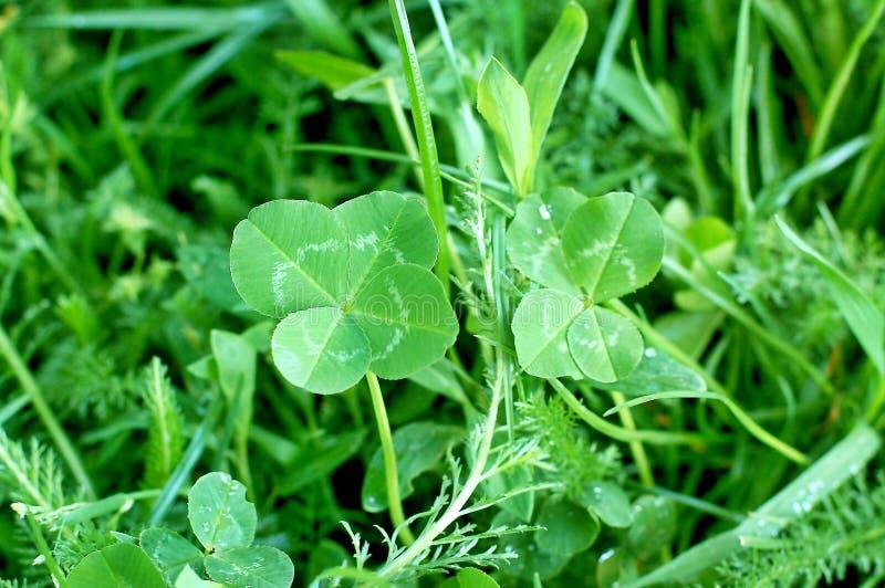 四片叶子三叶草,好运的标志 免版税库存图片