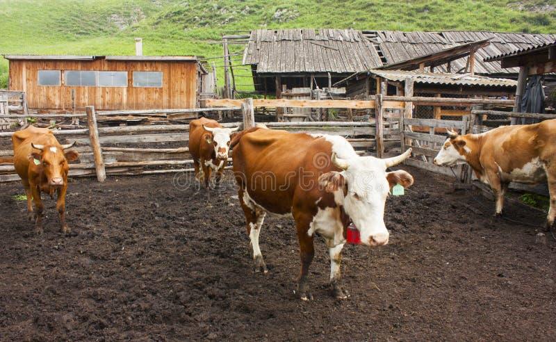 四红色和白色母牛在农场的小牧场站立 图库摄影