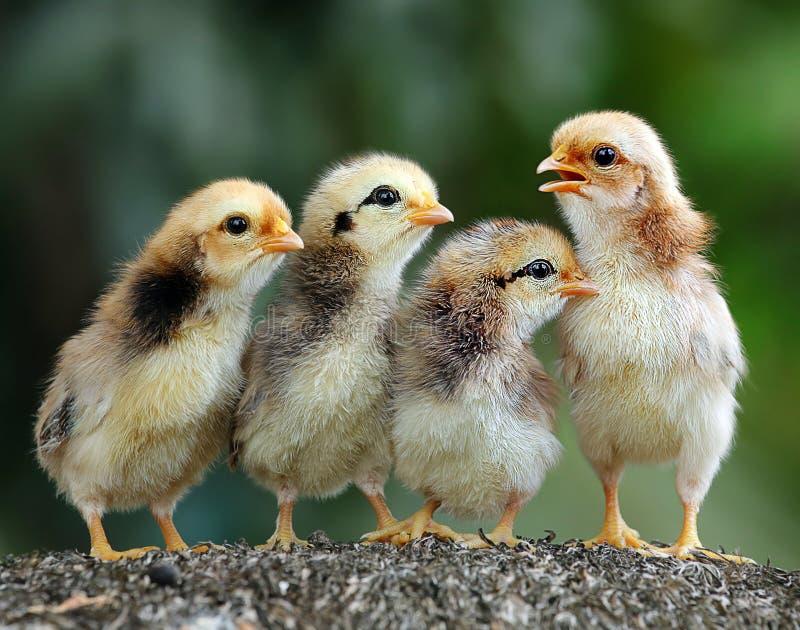 四逗人喜爱的小鸡 免版税库存照片