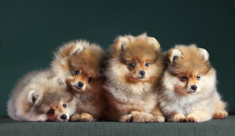 四Pomeranian狗 图库摄影