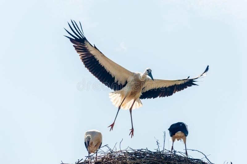 回到巢的鹳飞行 库存照片