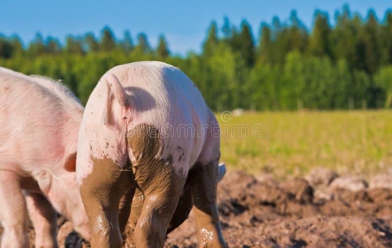 回到猪 库存图片