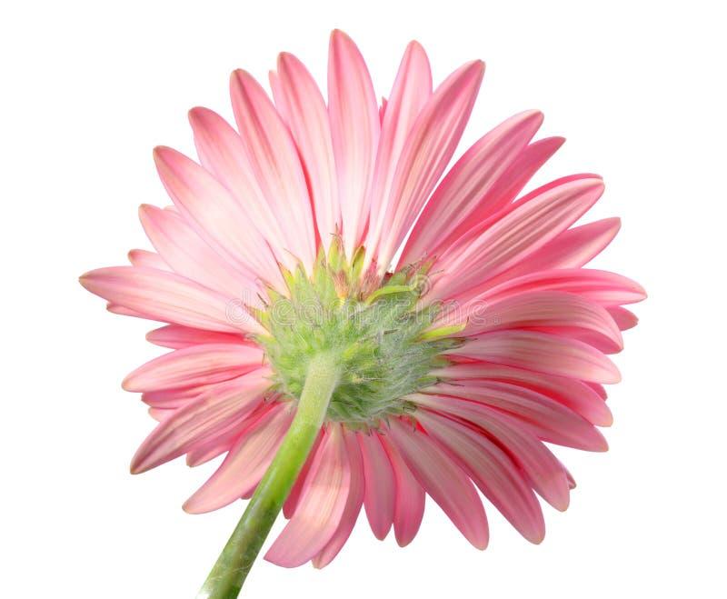 回到花粉红色端 库存照片