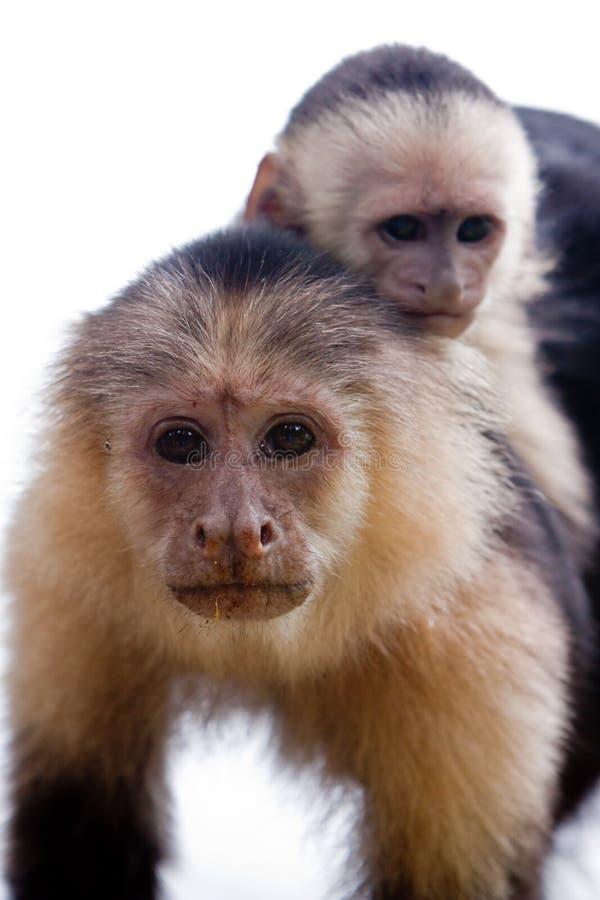 回到连斗帽女大衣她的猴子年轻人 免版税库存图片