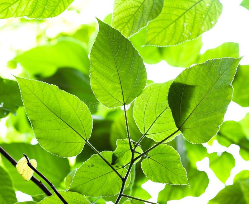 回到绿色叶子光被采取的结构树 库存图片