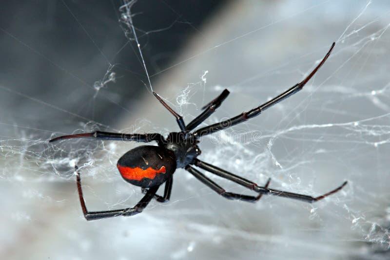 回到hasselti lacrodectus红蜘蛛 免版税库存照片