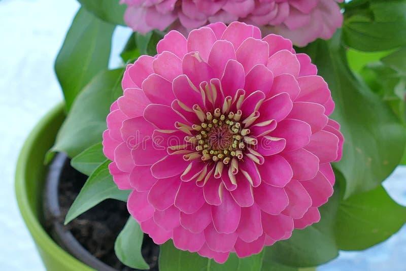 因为他们进来各种各样的花颜色,百日菊属是普遍的庭院花 库存照片