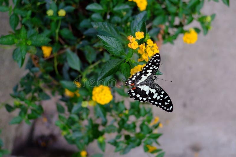 因为蝴蝶柑橘公用培养的demoleus获得主机其石灰名字papilio通常种植种类普遍的这样swallowtail 它从它得到它的名字 免版税库存图片