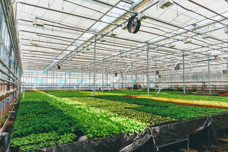 园林植物和花为从事园艺增长在现代水耕的温室托儿所或玻璃温室,工业园艺 免版税库存照片