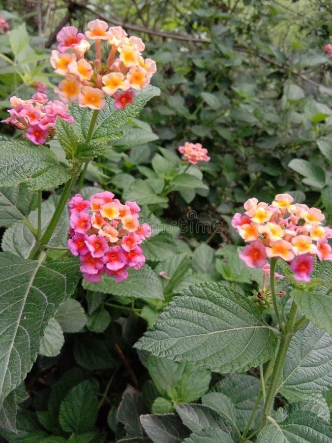 园林植物药用植物Asparagous利尿植物树桃红色花离开马樱丹属 库存图片