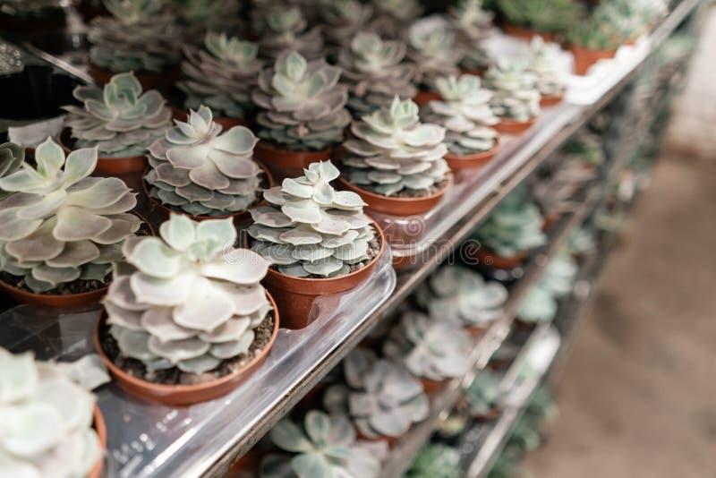 园艺中心和批发供应商概念 在花盆的许多不同的仙人掌在架子的花店  皇族释放例证