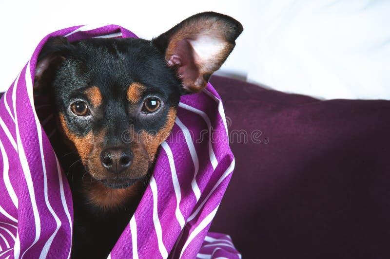 困小狗在毯子包裹的床上 免版税库存照片