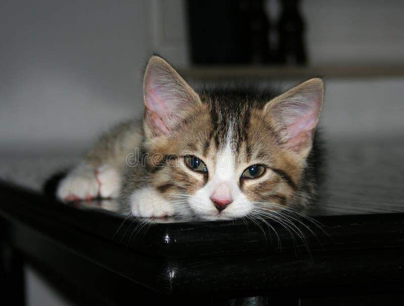 困的小猫 免版税库存图片