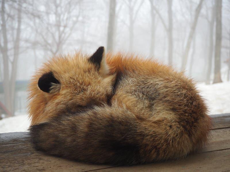 困蓬松狐狸,宫城皂市Fox村庄,sensai -图象 图库摄影
