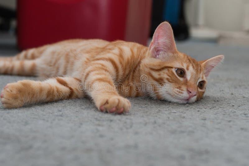 困虎斑猫看照相机权利 图库摄影