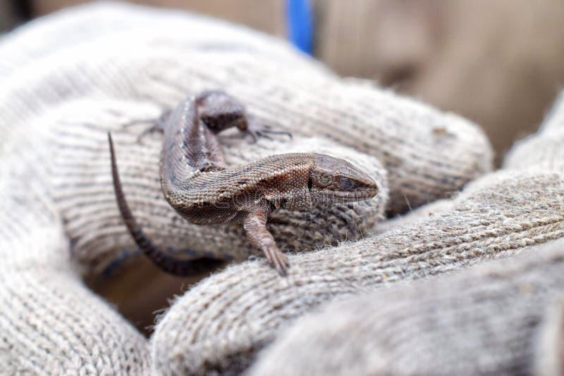 困蜥蜴在手边与手套特写镜头危险 免版税库存图片