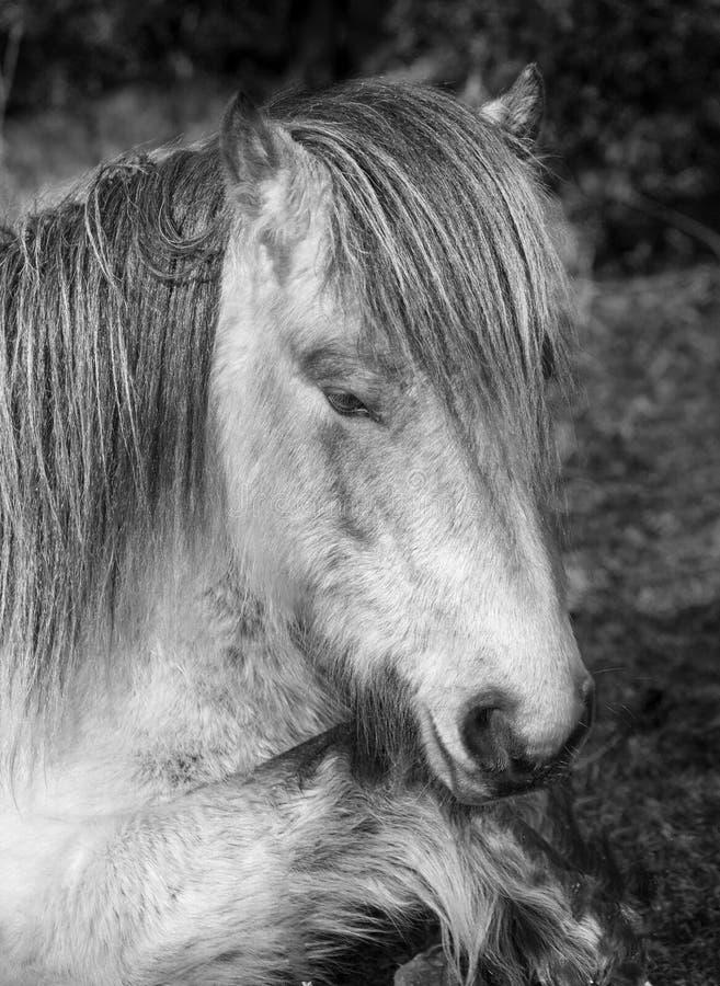 困野生荒野小马,博德明停泊,康沃尔郡 库存图片