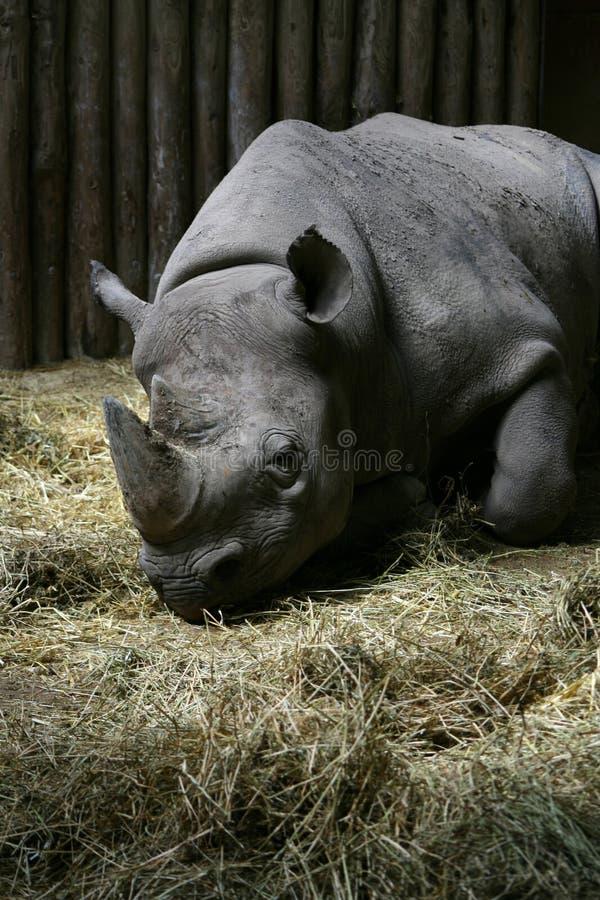 困黑色的犀牛 免版税图库摄影