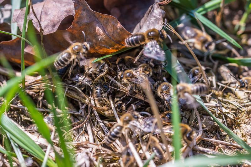 围拢母开采的蜂的公开采的蜂 库存图片
