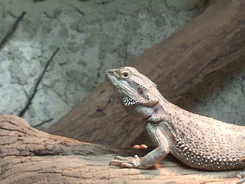 固定的鬣鳞蜥 库存图片