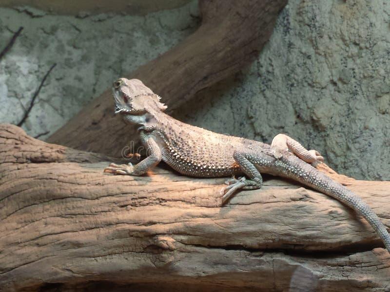 固定的鬣鳞蜥 免版税库存照片