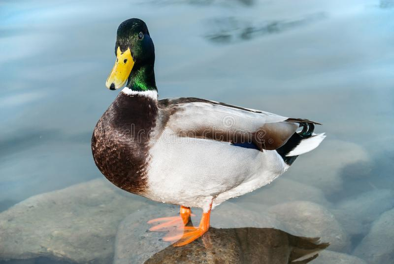 固定看一只公的鸭子的特写镜头站立在一块石头在非常清楚水中和 图库摄影