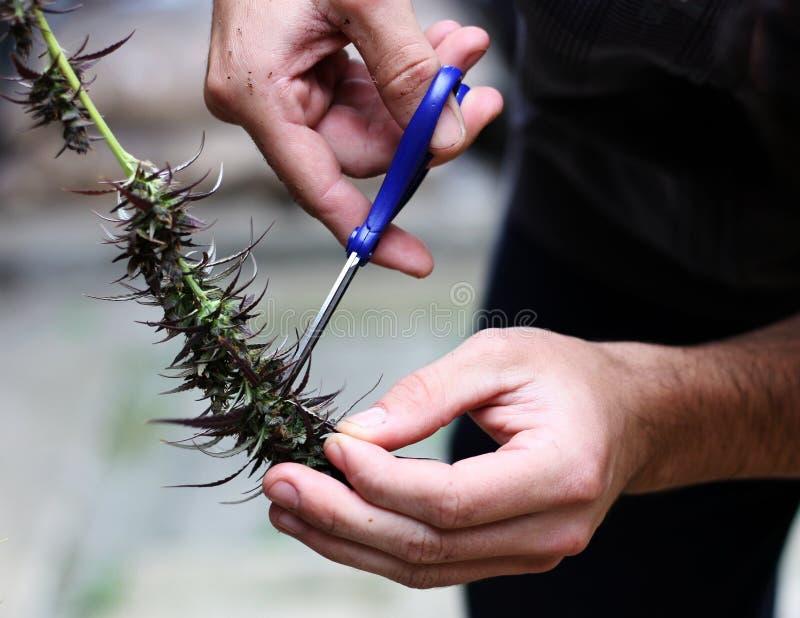 国内大麻收获 免版税库存图片