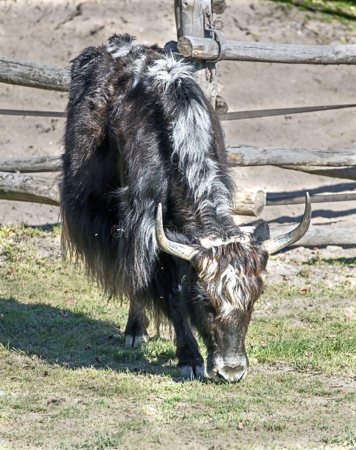 国内牦牛 库存照片