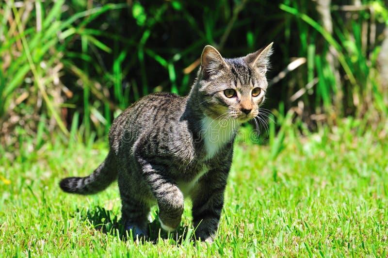 国内的猫 免版税库存图片