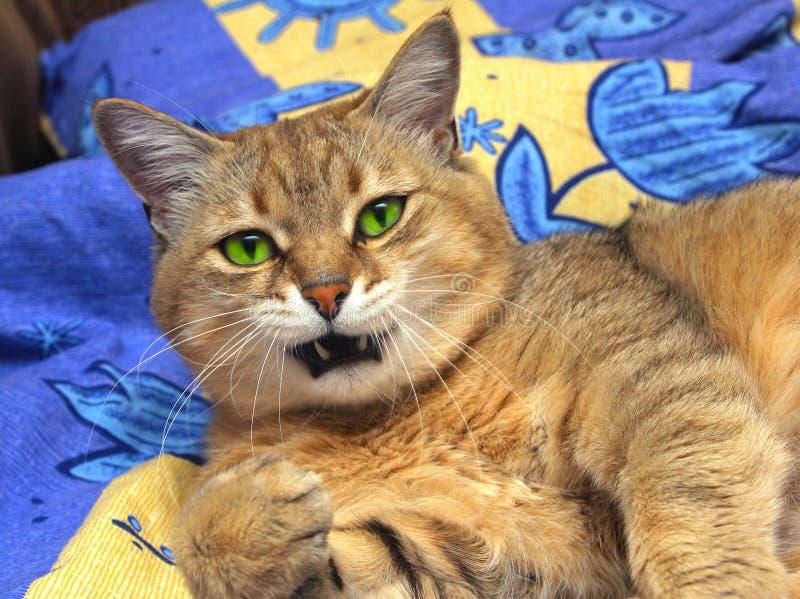 国内的猫 免版税库存照片