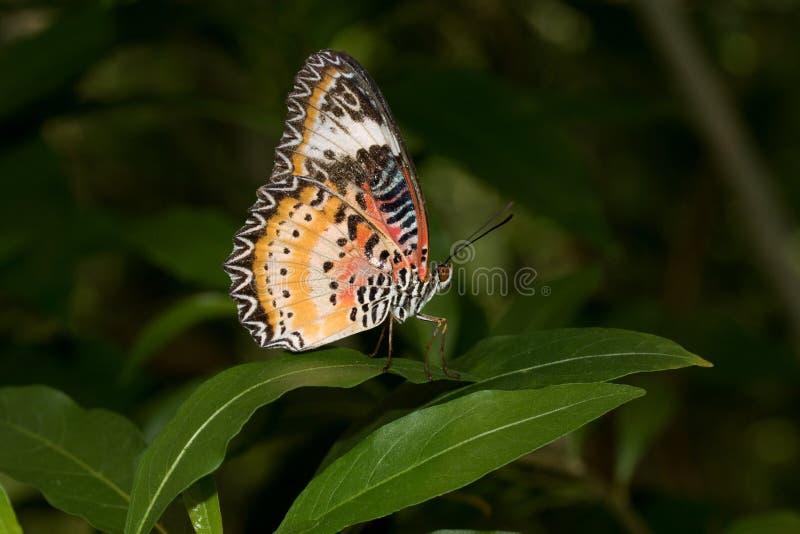 国君的侧视图蹒跚而行与在玻璃温室拍摄的闭合的翼的蝴蝶 免版税库存照片