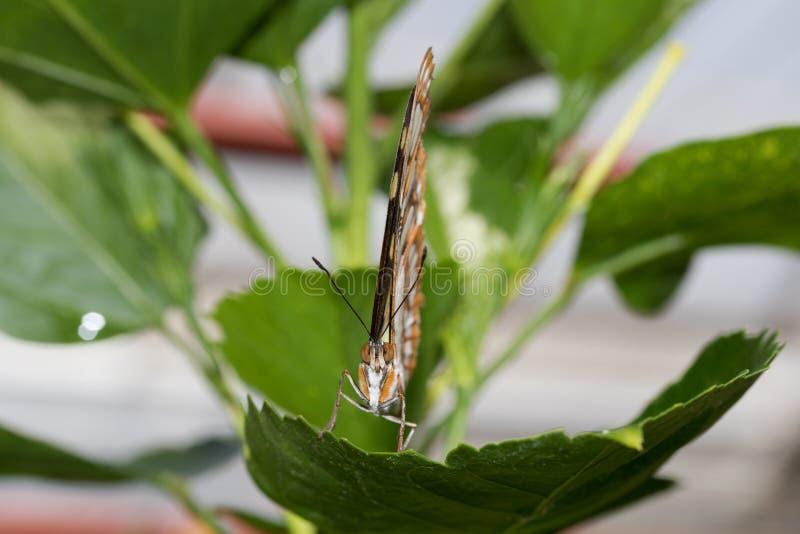 国君的正面图蹒跚而行与在玻璃温室拍摄的闭合的翼的蝴蝶 免版税库存图片