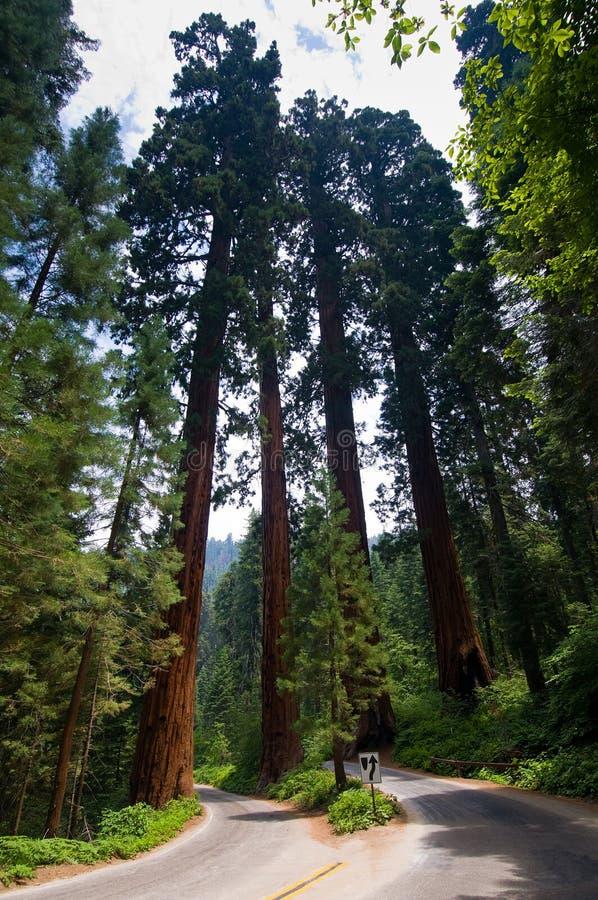 国家公园美国加州红杉 免版税库存照片