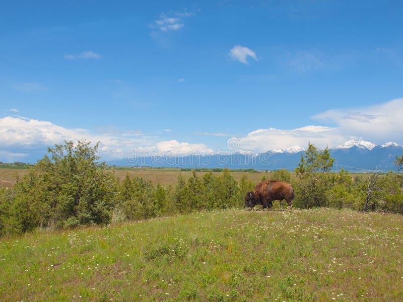 国家野牛山脉大型美国野牛 免版税库存照片