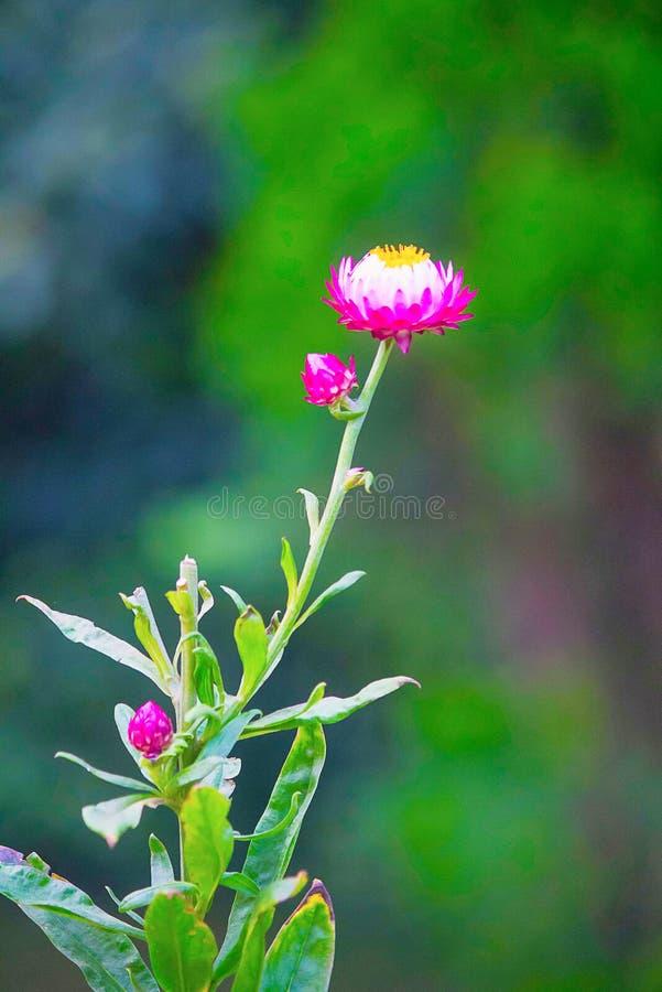 国王普罗梯亚木花,肯尼亚,非洲 库存照片