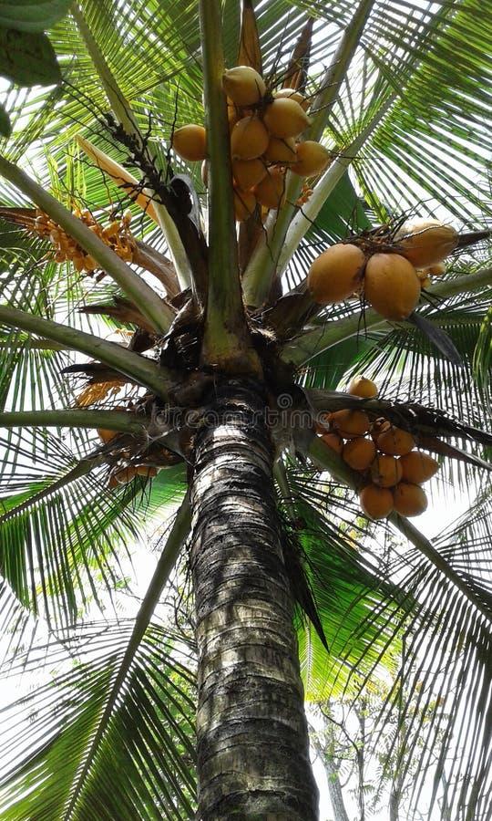 国王椰子树 库存照片
