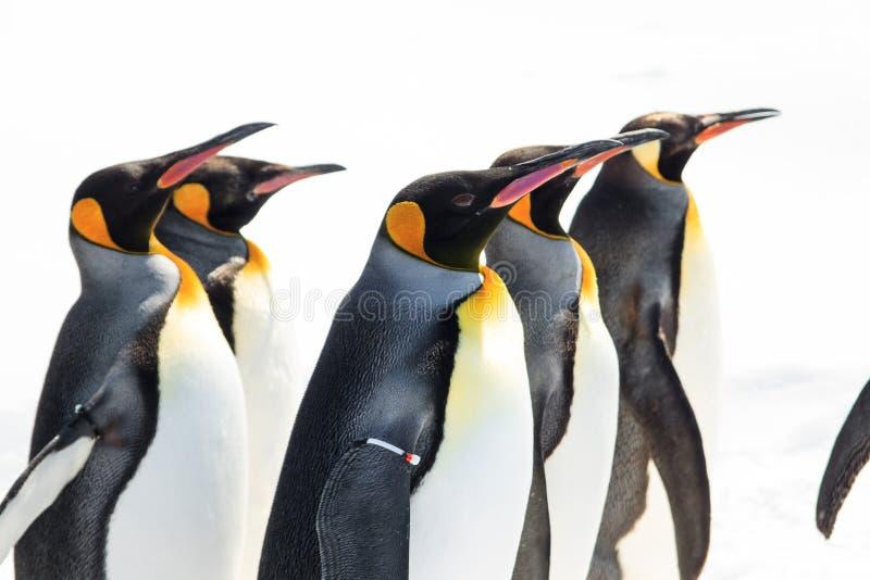 国王游行企鹅 库存图片