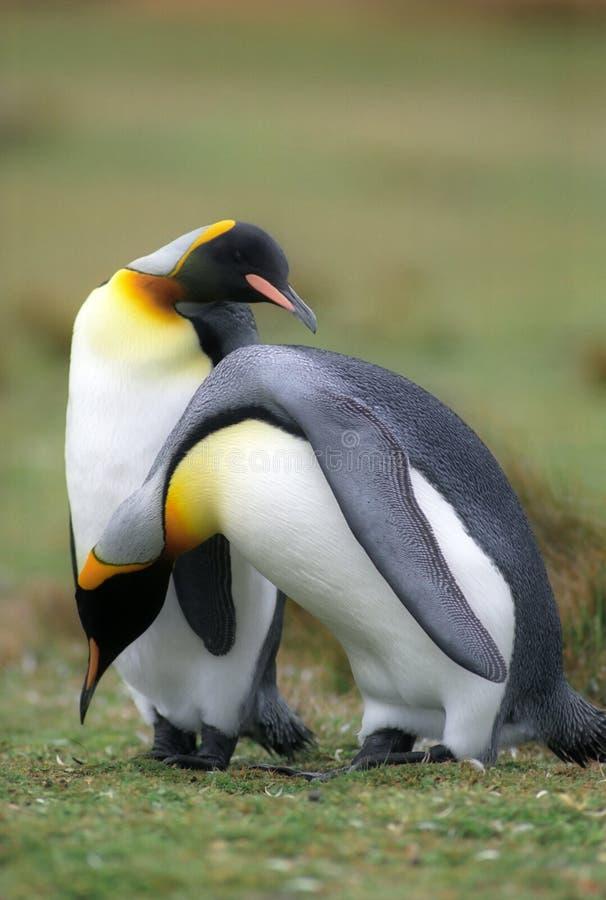国王pinguins 免版税图库摄影