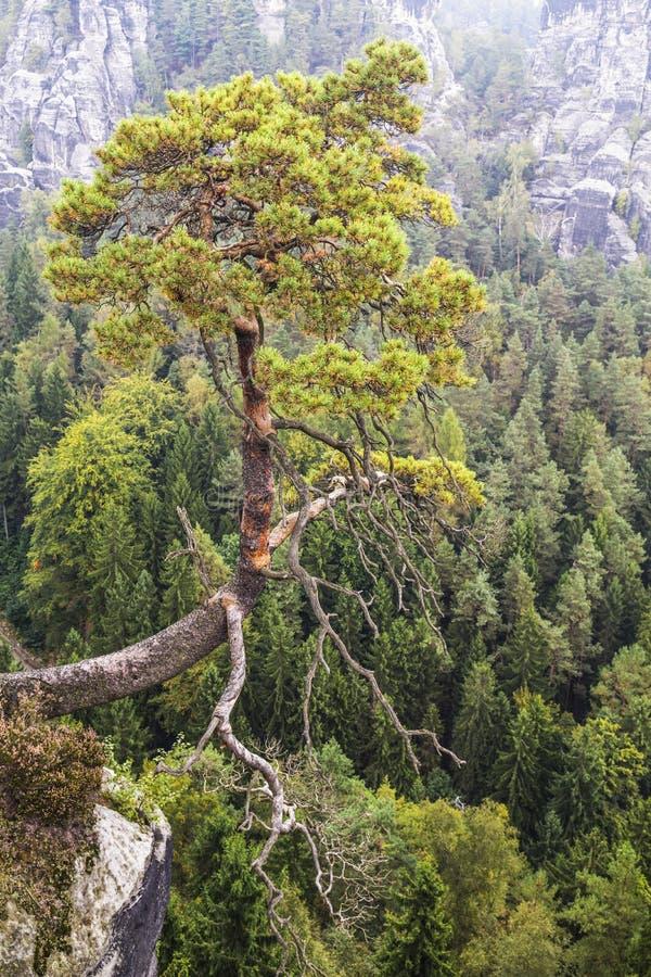 国立公园Bastei萨克森瑞士的看法  垂悬在峭壁的一孤立松树 免版税库存照片
