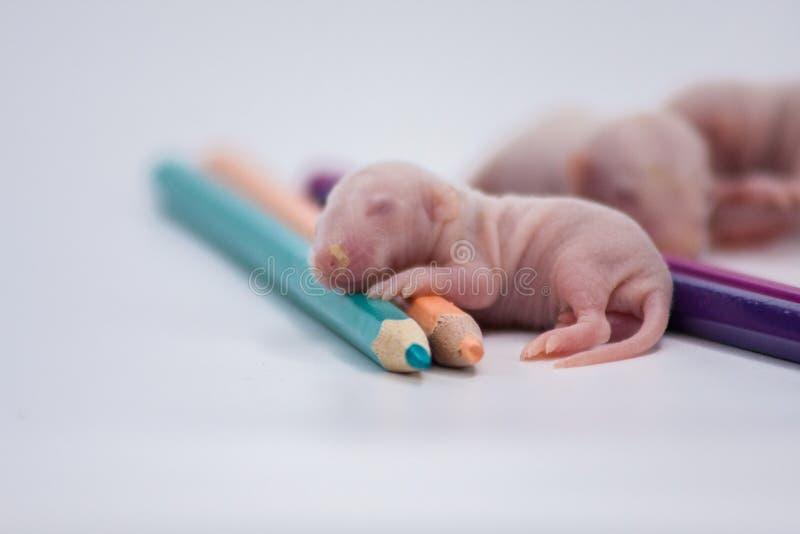 图画的概念 一点与颜色铅笔的老鼠 库存照片