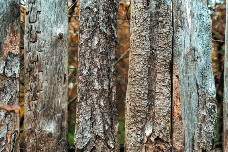 图臭虫树皮甲虫 老委员会 木背景 在秋天天自然的篱芭 木老的板条 免版税库存照片