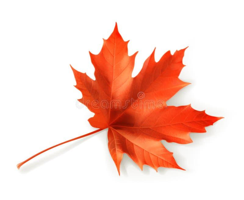 图象叶子槭树红色向量 向量例证